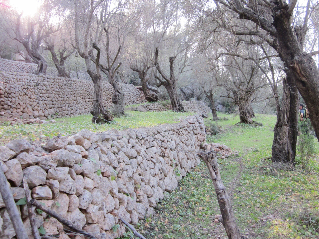 A terraced garden featuring ancient olive trees.