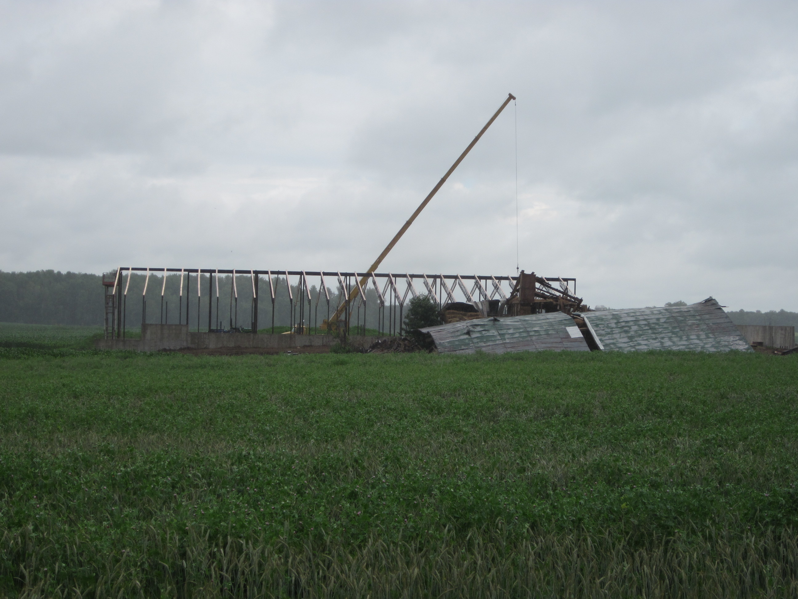 The old bank barn lies beneath its roof while the new steel barn frame rises behind it (Willa Wick photo)