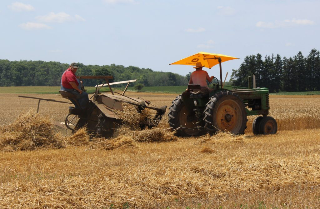 IPM Wheat harvest being done the old-fashioned way